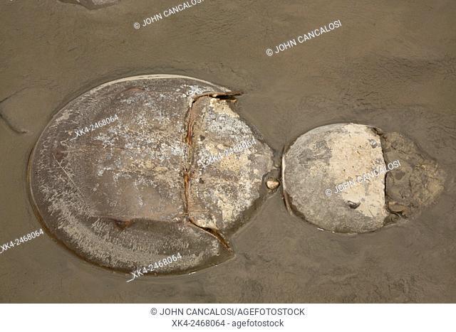 Atlantic horseshoe crab, Limulus polyphemus, Delaware bay, Delaware, coming ashore to breed. USA