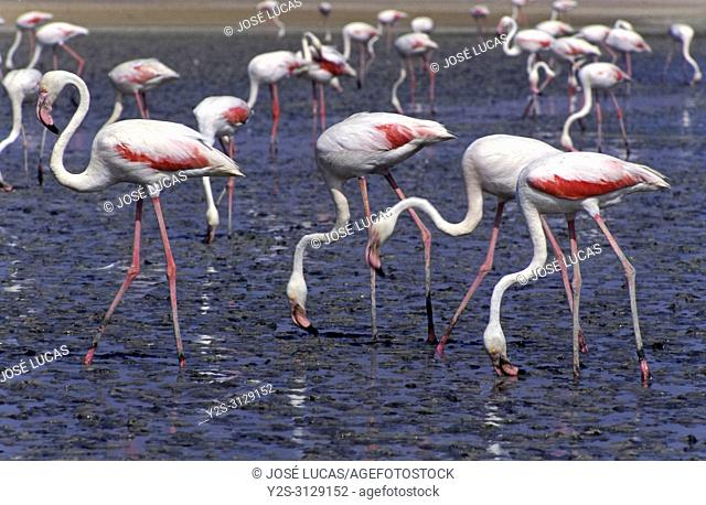 Pink flamingos (Phoenicopterus ruber roseus) in the Lagoon of Fuente de Piedra Nature Reserve. Malaga province. Region of Andalusia. Spain. Europe