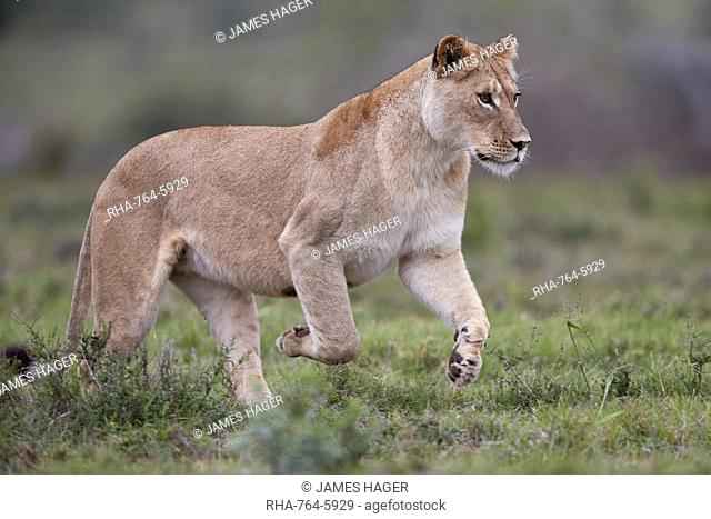 Lioness (Lion, Panthera leo) running, Addo Elephant National Park, South Africa, Africa