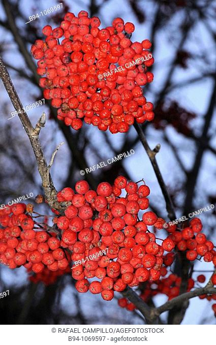 Fruits of Sorbus aucuparia. Osseja, Languedoc-Roussillon, Pyrenees Orientales, France