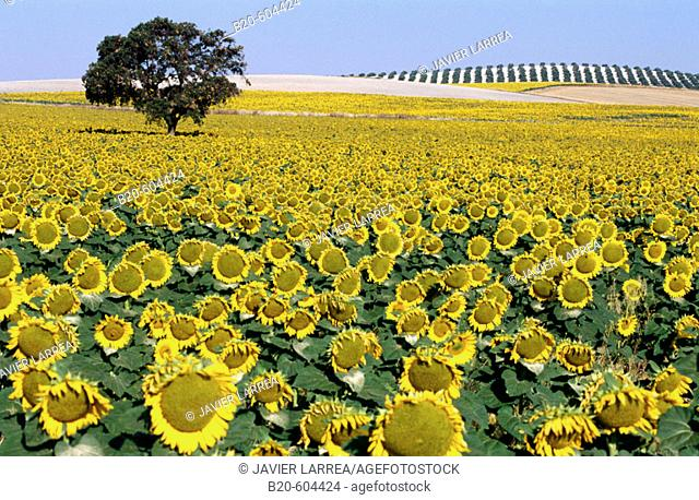 Sunflowers. Andalusia. Spain