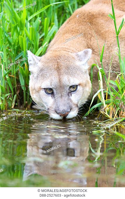 United States, Minnesota, Cougar Puma concolor, also known as the mountain lion, drinking