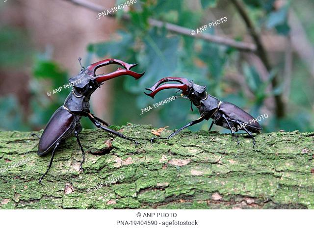 Stag Beetle Lucanus cervus - Beneden-Dinkeldal, Ootmarsum, Twente, Overijssel, The Netherlands, Holland, Europe