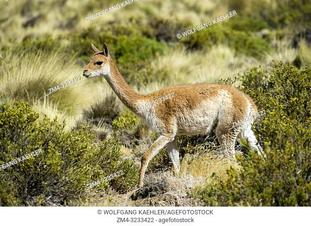Vicuna (Vicugna vicugna) at El Tatio Geysers geothermic basin near San Pedro de Atacama in the Atacama Desert, northern Chile