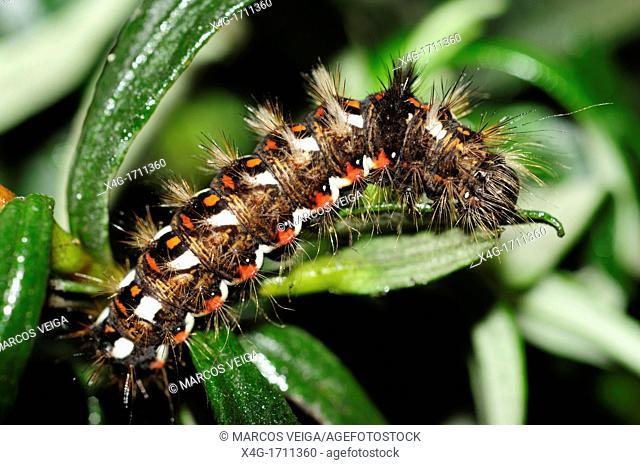 Knot Grass Moth Caterpillar Acronicta rumicis