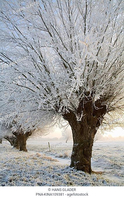 Willow, Pollard-willow Salix alba