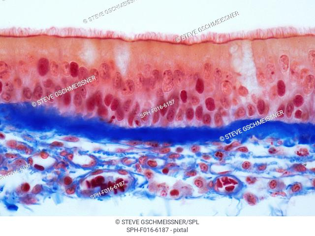 Tracheal epithelium. Light micrograph (LM) of a vertical section through the pseudostratified columnar epithelium from the trachea