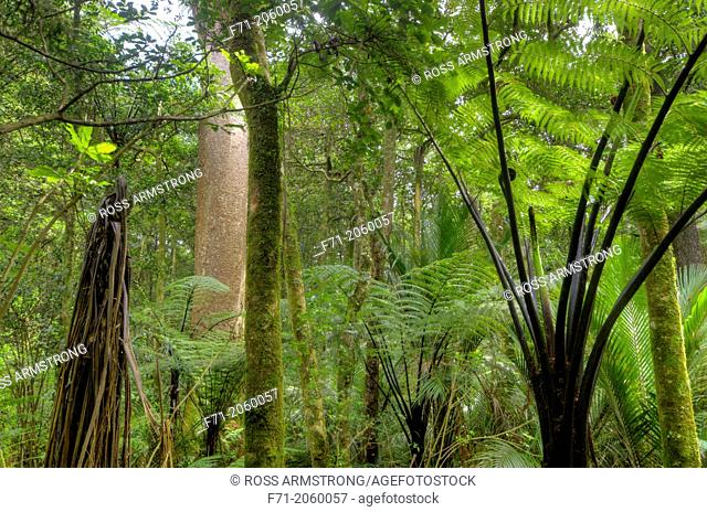 Large Kauri Tree Avicennia resinifera at Trounson Kauri Park, Northland, New Zealand