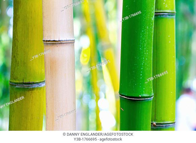 Bamboo in Different Colors