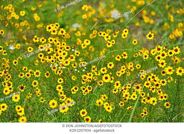 Plains coreopsis or calliopsis (Coreopsis tinctoria) Roadside colony, near Clinton, Arkansas, USA