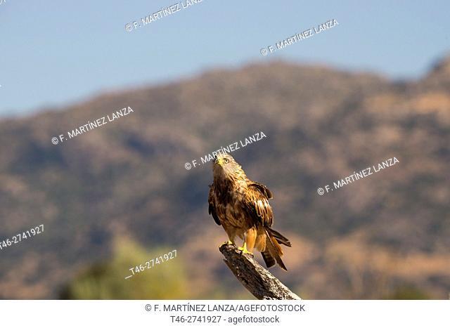 Kite (Milvus milvus). Photographed in Fresnedilla de la Oliva, Madrid