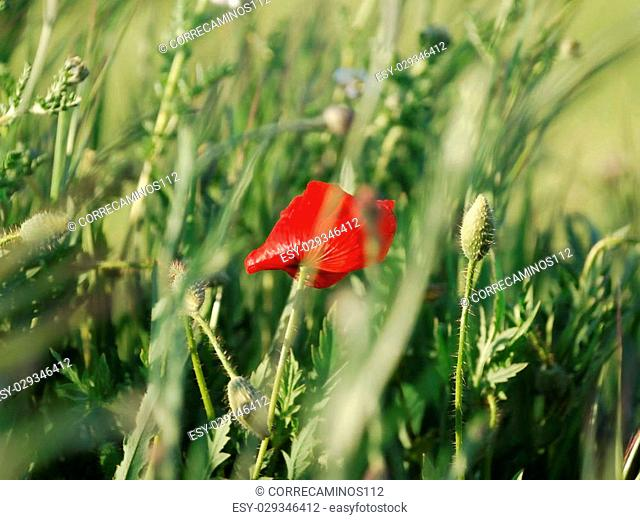Red poppy between green wheat ears waving in the wind