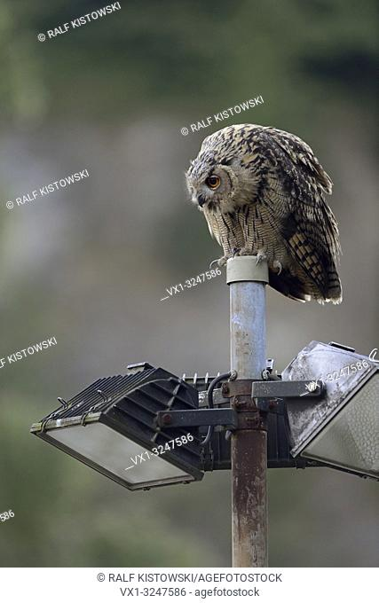 Northern Eagle Owl / Europäischer Uhu (Bubo bubo) perched on a floodlight of an old quarry, looks interested in something