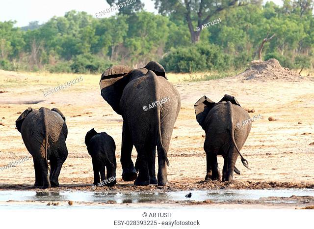 herd of African elephants drinking at a muddy waterhole, Etosha national Park, Ombika, Kunene, Namibia. True wildlife photography