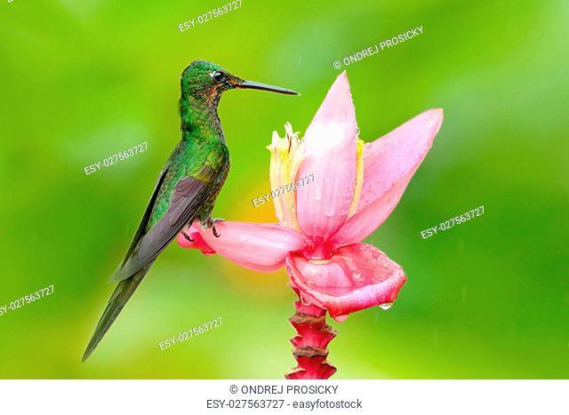 Hummingbird Empress Brilliant, Heliodoxa imperatrix