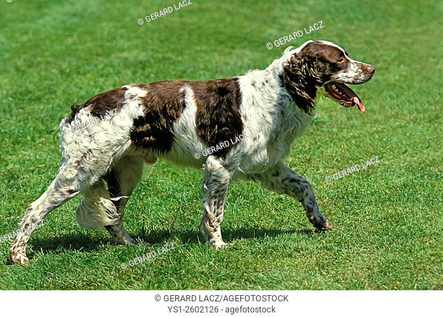 French Spaniel, Adult walking on Lawn