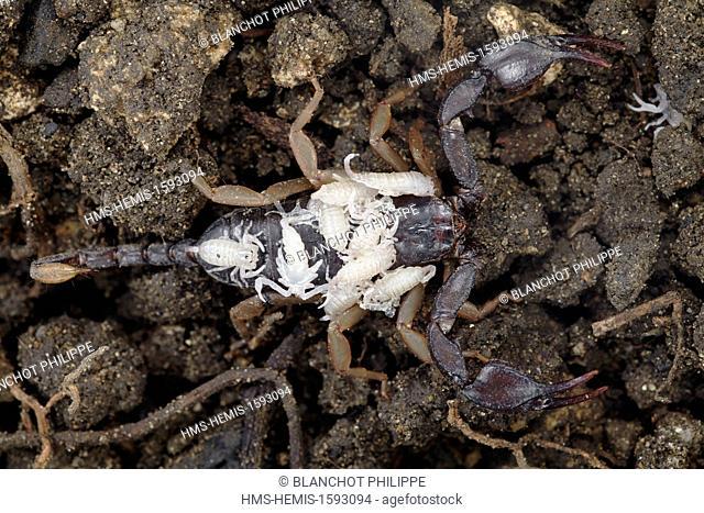 France, Herault, Arachnida, Euscorpiidae, European yellow-tailed scorpion (Euscorpius flavicaudis), female with young on her back
