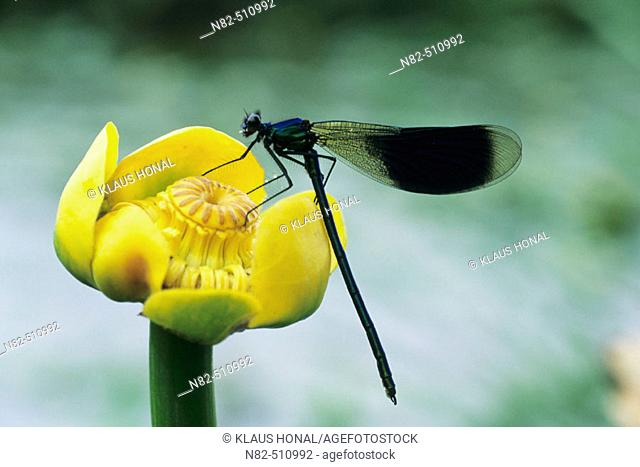 Banded Demoiselle male (Calopteryx splendens) on Yellow Water-lily (Nuphar lutea)