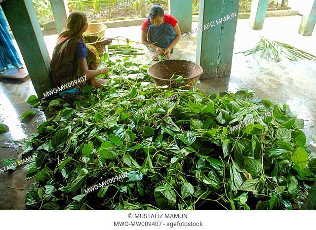 A tribal Khashia girl preparing betel leaves for sale at her house in Sangram Pungi, a Khashia village, near Jaflong in Sylhet district Betel leaf or 'paan' is...