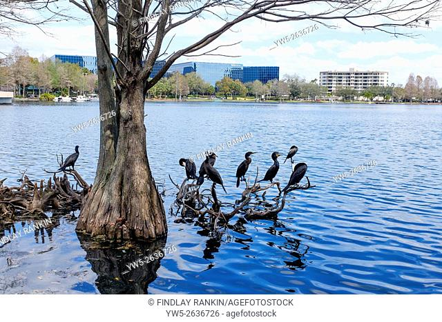 Lake Eola Park with cormorants standing on the roots of trees and new offices and apartments on the skyline, Downtown Orlando, Florida, USA