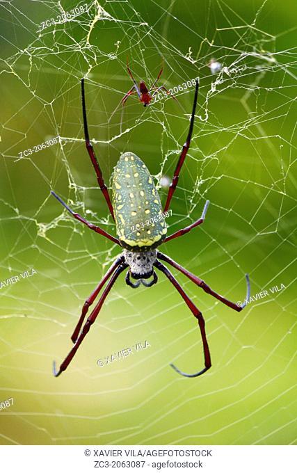Nephile, Nephila, Spider, Island, Pulau Perhentian Kecil, China Sea, Long Beach, Coral Beach, Terengganu, Malaysia