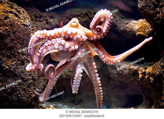 ethereal octopus from the depth Octopus vulgaris