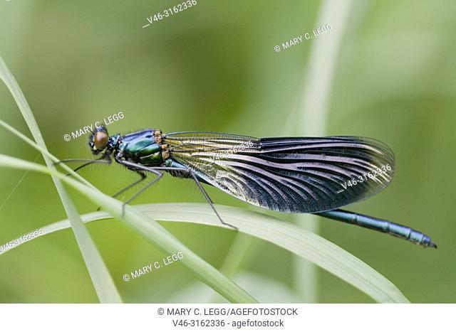 Male Beautiful Demoiselle, Calopteryx virgo