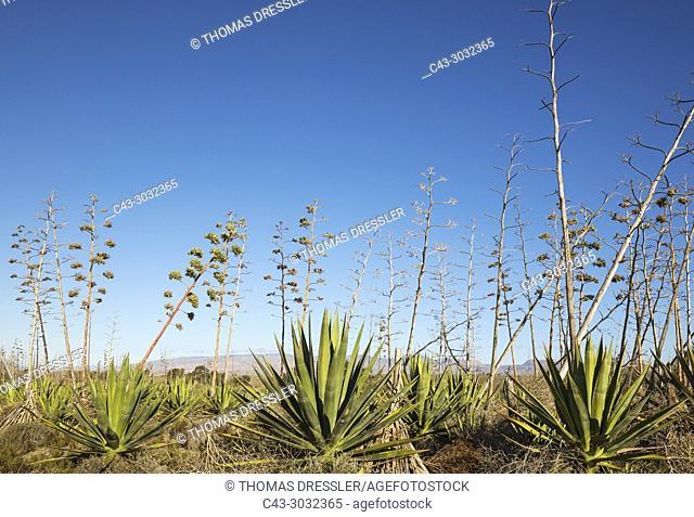 Century plant (Agave americana). Nature Reserve Cabo de Gata-Nijar, Almeria province, Andalusia, Spain