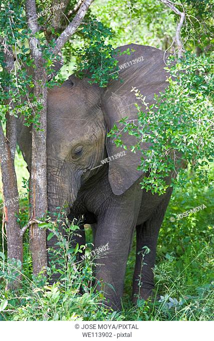 Young elephant resting head against tree trunk, Kruger National Park, South Africa