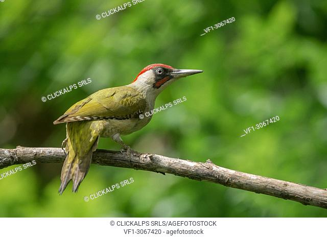 European green woodpecker on the branch, Trentino Alto-Adige, Italy