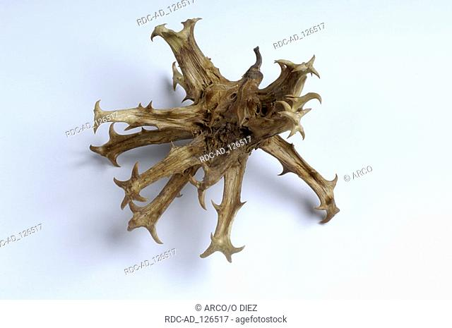Devils Claw Harpagophytum procumbens Pedaliaceae