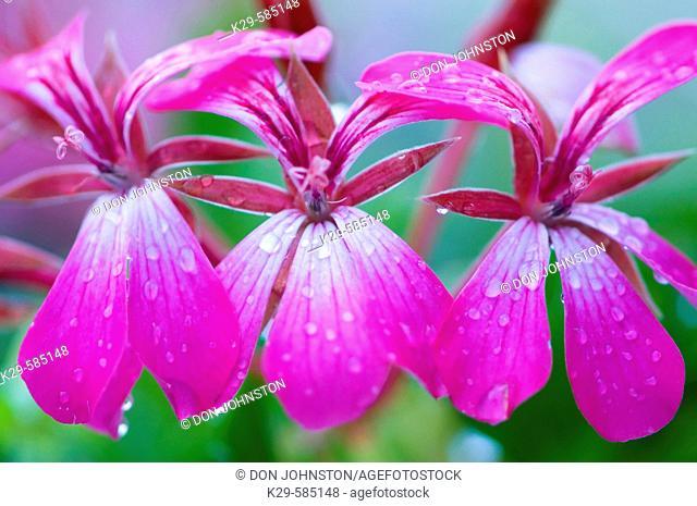 Geranium flowers in garden with raindrops. Ontario