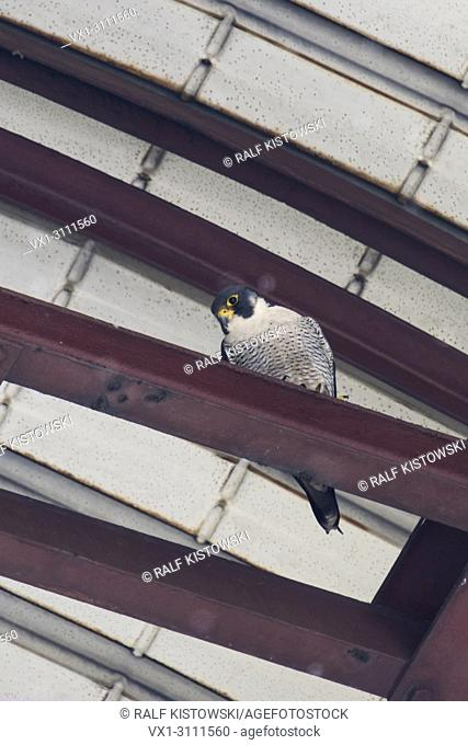 Peregrine Falcon / Wanderfalke ( Falco peregrinus ), adult male, perched on a steel joist under a metal roof of an industrial building, resting, watching down