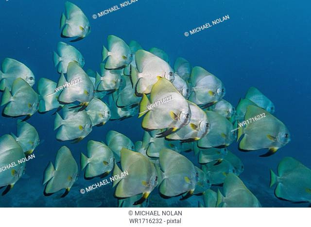 A school of batfish (Platax orbicularis) on Sebayur Island, Komodo Island National Park, Indonesia, Southeast Asia, Asia