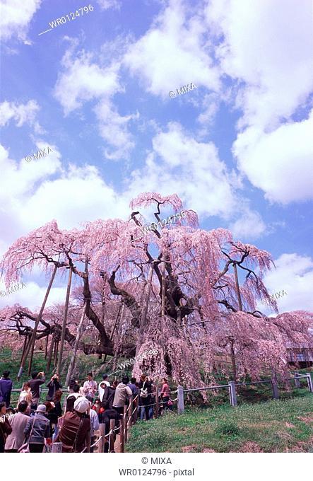 Cherry blossoms in Miharu, Fukushima Prefecture, Japan