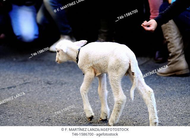 Lamb, Fiesta de la Transhumancia, Spain