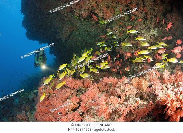 Taucher an buntem Korallenriff, Himendhoo Thila, Nord Ari Atoll, Malediven, Scuba Diver in Coral Reef, Himendhoo Thila, North Ari Atoll, Maldives