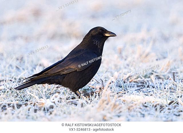 Carrion Crow / Rabenkraehe ( Corvus corone ) in winter, sitting on hoarfrosted farmland, first morning light, shimmering plumage colors, wildlife, Europe