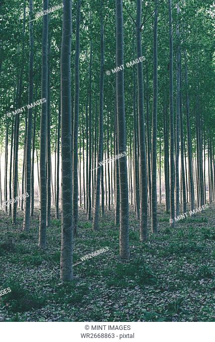 Rows of commercially grown poplar trees in Oregon