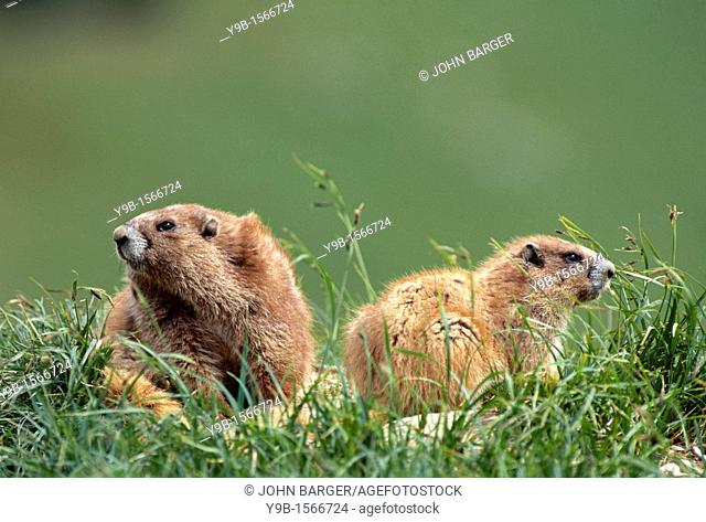 OLYMPIC MARMOT Marmota olympus adult and youngster, Olympic National Park, Washington, USA