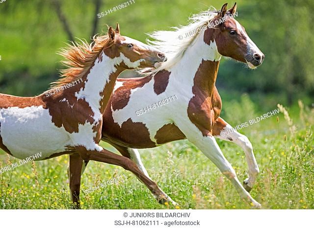 American Paint Horse. Two colts galloping on a meadow. Austria