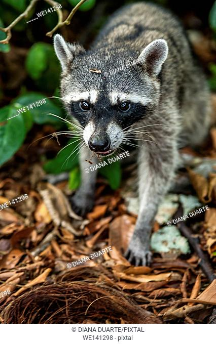 """""""""""Raccoon"""" (Procyon lotor), tend to be nocturnal but it is not uncommon to spot a raccoon during the day. Cahuita National Park, Costa Rica"