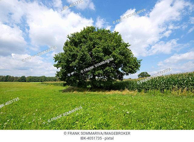 Solitary Pedunculate Oak (Quercus robur), in summer, Lower Saxony, Germany