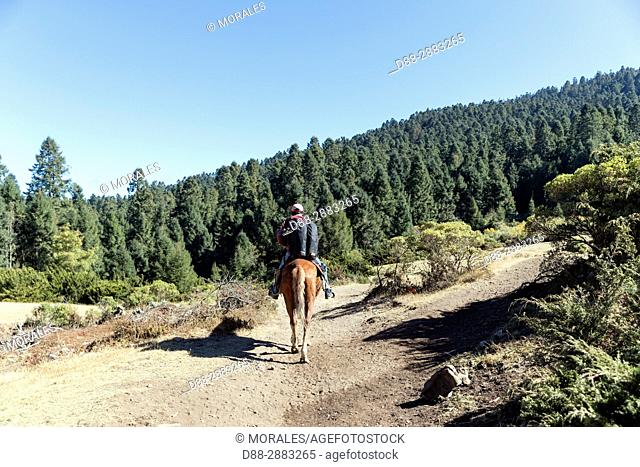 Central America, Mexico, State of Michoacan, Angangueo, Reserve of the Biosfera Monarca El Rosario, horse going to the to the wintering area of the monarch...