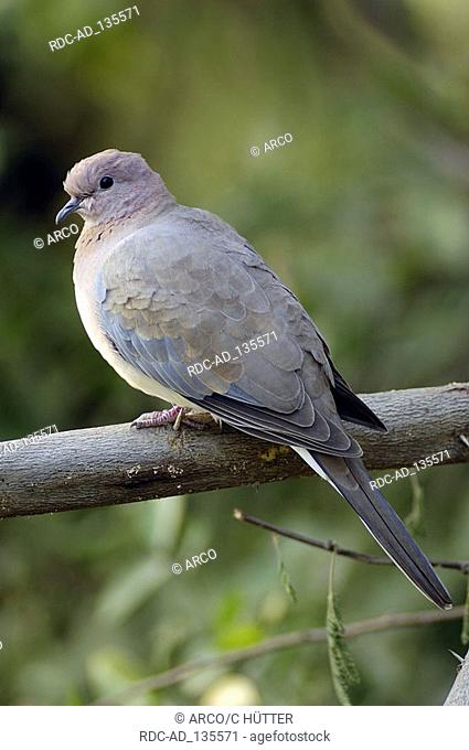 Laughing Dove Keoladeo Ghana national park Rajasthan India Streptopelia senegalensis