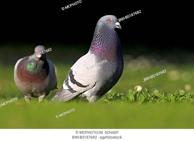 domestic pigeon (Columba livia f. domestica), two individuals on meadow, Germany