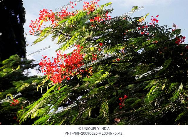 Low angle view of a tree, Tirupati, Chittoor District, Andhra Pradesh, India