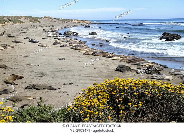 Piedras Blancas Elephant Seal Rookery, San Simeon, San Luis Obispo County, California, United States, North America