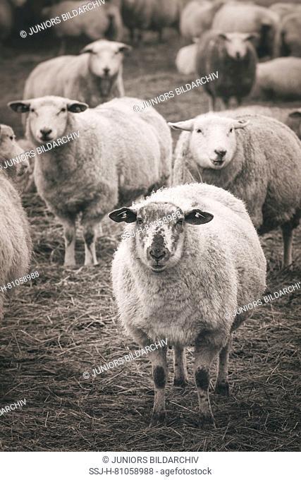 Domestic sheep, herd on the dyke