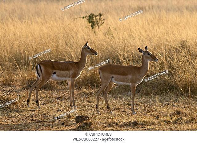 Africa, Kenya, Maasai Mara National Reserve, Impala antelopes (Aepyceros melampus)